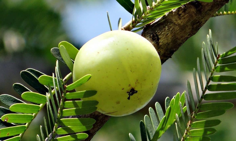 Pourquoi inclure l'amla dans votre alimentation quotidienne, surtout en hiver ?